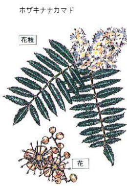ホザキナナカマド・バラ科・落葉広葉樹