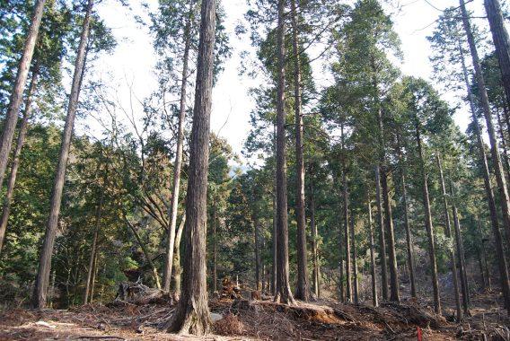 モモヒノキの森